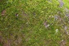 Textura verde do musgo Imagem de Stock Royalty Free