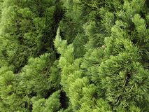 Textura verde do pinho Imagem de Stock