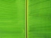Textura verde fresca da folha da banana fotografia de stock