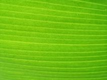 Textura verde fresca da folha da banana foto de stock