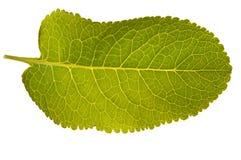 Textura verde isolada da folha Fotos de Stock Royalty Free