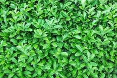 Textura verde natural da folha Fotografia de Stock