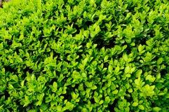 Textura verde natural da folha Fotografia de Stock Royalty Free
