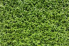 Textura verde natural da folha Imagens de Stock