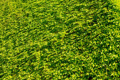 Textura verde natural de la hoja imágenes de archivo libres de regalías