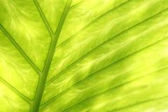 Textura verde retroiluminada de la hoja Fotografía de archivo libre de regalías
