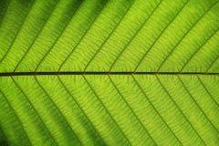 Textura verde rica da folha para ver completamente a estrutura da veia da simetria, conceito natural da textura fotos de stock royalty free