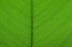 Textura verde transparente de la hoja Imagen de archivo