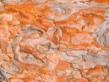 Textura vermelha da casca do pinho de japão Foto de Stock