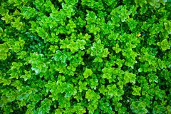 Textura vibrante verde del arbusto del boj en jardín fotografía de archivo
