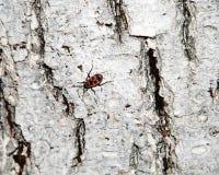Textura Whitewashed da casca de árvore com o besouro cardinal na casca colorido imagem de stock royalty free