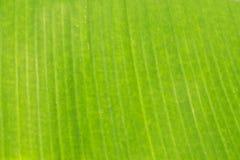 Textura y fondo de la hoja del verde del plátano fotos de archivo