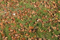 Textural background from fallen leaves of a poplar. An autumn carpet from foliage. royalty free stock photos