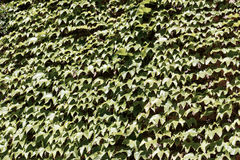 Textural background of green leaves. Textural decorative background of green leaves wallpaper Stock Image