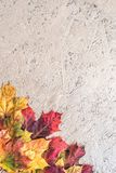 Textural Background Painted With Gold Paint With Composition Of Colorful Maple Autumn Leaves Royalty Free Stock Image