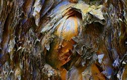 Texturas da casca de árvore do eucalipto fotos de stock