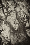 Texturas de los árboles barbudos de Mossman, Australia Foto de archivo