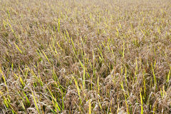 Texturas del campo del arroz Imagen de archivo