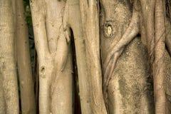 Texturas do altissima do ficus do caminhão da árvore fotografia de stock