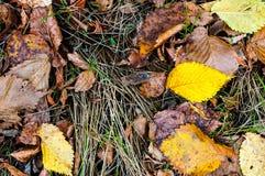 Texturas do outono, folhas amareladas, lentilha-d'água, conversão imagens de stock