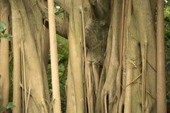Texturas e fundo do altissima do ficus do caminhão da árvore foto de stock royalty free
