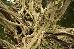Texturas e fundo do caminhão do altissima do ficus da árvore imagens de stock royalty free