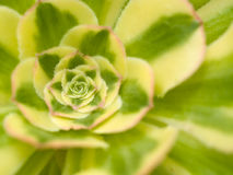 Texturas macro do cacto do Succulent Ouch Fotos de Stock