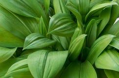 Texturas verdes do fundo da folha Imagens de Stock