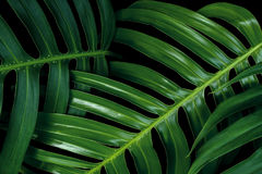 Texturas verdes tropicais da folha no fundo preto, philo de Monstera Fotografia de Stock Royalty Free