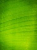 Texturbakgrund av det gröna bladet Royaltyfri Fotografi