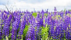 Texturbakgrundsfält av att blomma för lupine Arkivbild