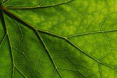 Texturdetaljen och modellen av åder för en växtbladfikonträd är den liknande strukturen till trädet Arkivfoto