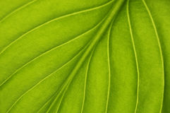 Texture. Green leaf texture close up Royalty Free Stock Photography