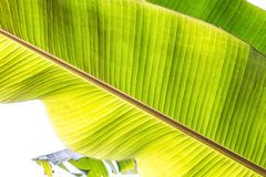 Texture abstract background of backlight fresh green banana tree leaves. Macro image beautiful vibrant tropical pointy leaf foliag. E plant background texture stock photos