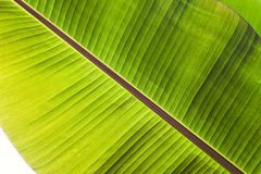 Texture abstract background of backlight fresh green banana tree leaves. Macro image beautiful vibrant tropical pointy leaf foliag. E plant background texture stock images