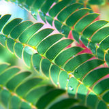 Texture of Acacia leaves. Stock Photo