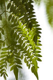Texture of Acacia leaves. Royalty Free Stock Image