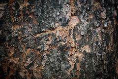 Texture of aged tree bark Royalty Free Stock Photo