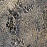 Texture of animal footprints in the sand, view from above royalty free stock photo