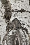 Texture argentée d'écorce de tronc de peuplier Photographie stock
