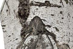 Texture argentée d'écorce de tronc de peuplier Image stock
