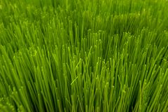 Texture of artificial grass with shallow depth of field. Close up texture of artificial grass with shallow depth of field , abstract background Stock Image