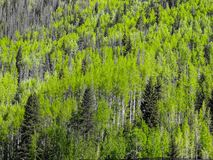 Texture of aspen and pine trees stock image