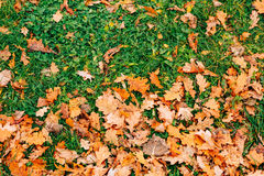Texture of autumn leaves. Yellow oak leaf litter on the floor in Royalty Free Stock Photos