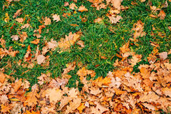 Texture of autumn leaves. Yellow oak leaf litter on the floor in Royalty Free Stock Image