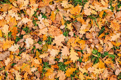 Texture of autumn leaves. Yellow oak leaf litter on the floor in Royalty Free Stock Photography