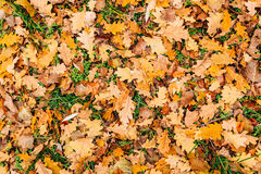 Texture of autumn leaves. Yellow oak leaf litter on the floor in Stock Image
