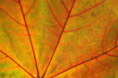 Texture of autumn maple leaves. Close up Royalty Free Stock Photos