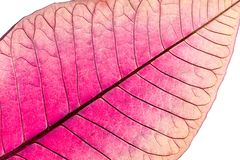 Texture avec des nervures de feuille de fleur défraîchie de poinsettia photographie stock libre de droits