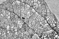 Texture avec les feuilles putréfiées avec des fibres d'une feuille Photos stock